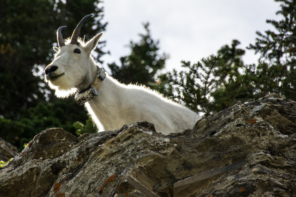 Mountain goat that has been outfitted with a  radio collar to study their movements