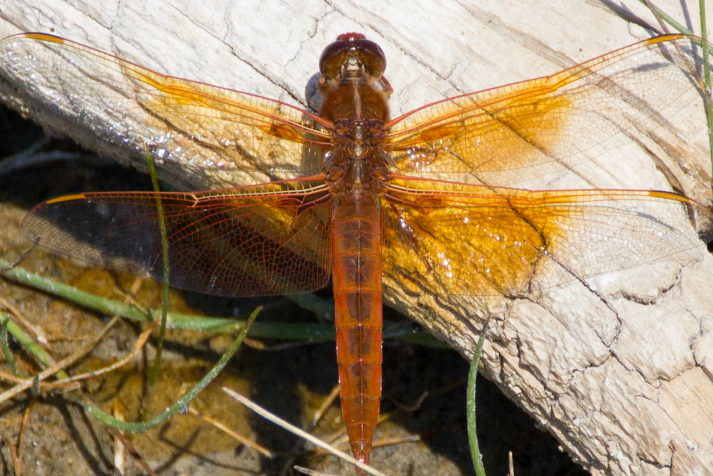 A dragonfly in Yellowstone