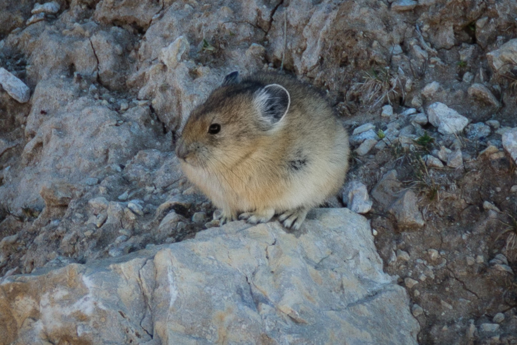 A mouse-like pika in the Bighorn Mountains.