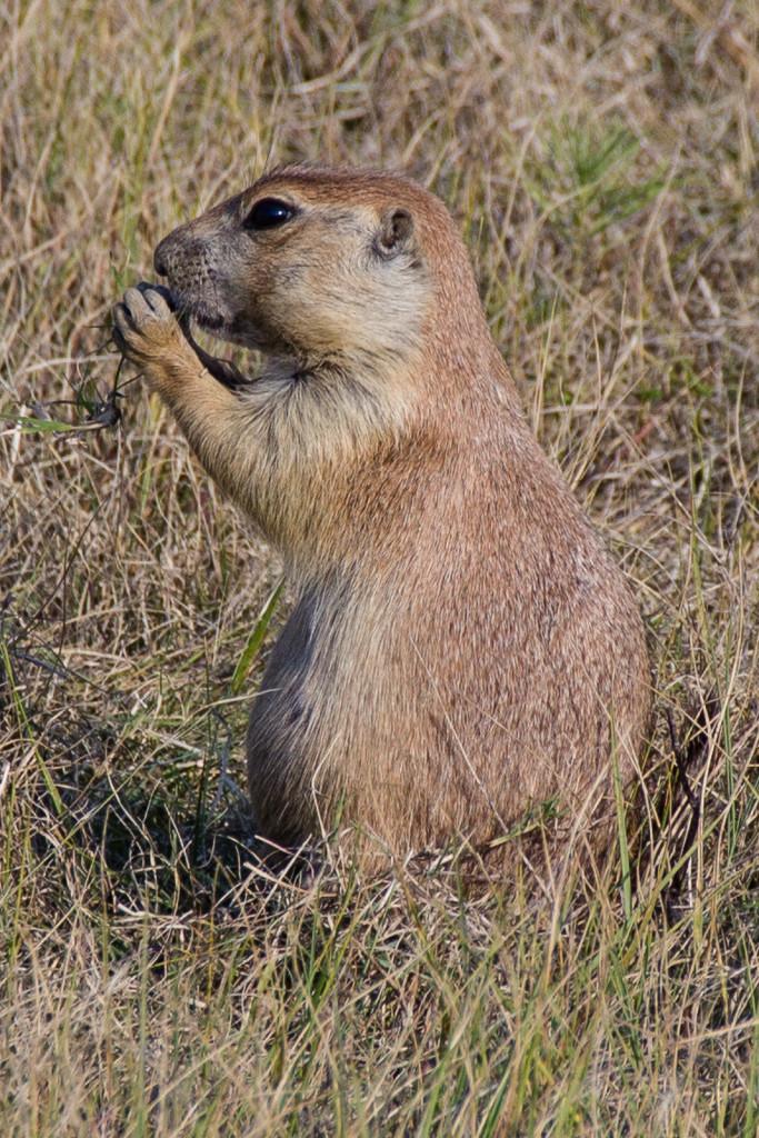 A prairie dog in their typical pose.